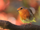 robin-bird-on-branch-in-the-garden