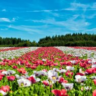 poppy-field-of-poppies-flower-flowers-80453
