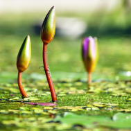 water-lilies-bud-pond-green-99548